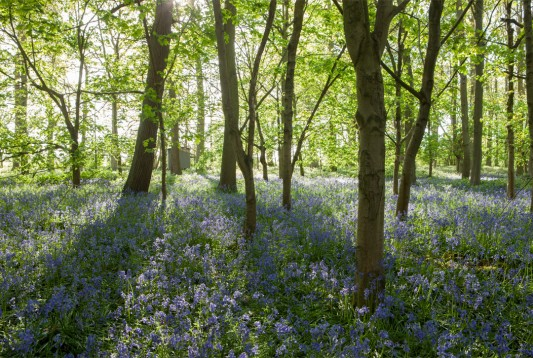 WildWood-Bluebell-Woods
